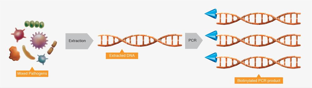 PCR amplification of extracted DNA using RenDx primer mastermix.