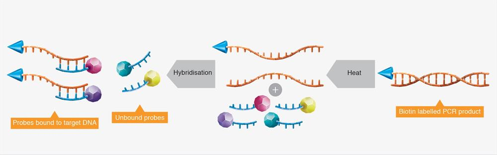 Specific RenDx probes are hybridised to target DNA.